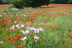 Kent-poppy-field